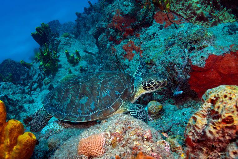 Een soepschildpad. Beeld Marion Haarsma
