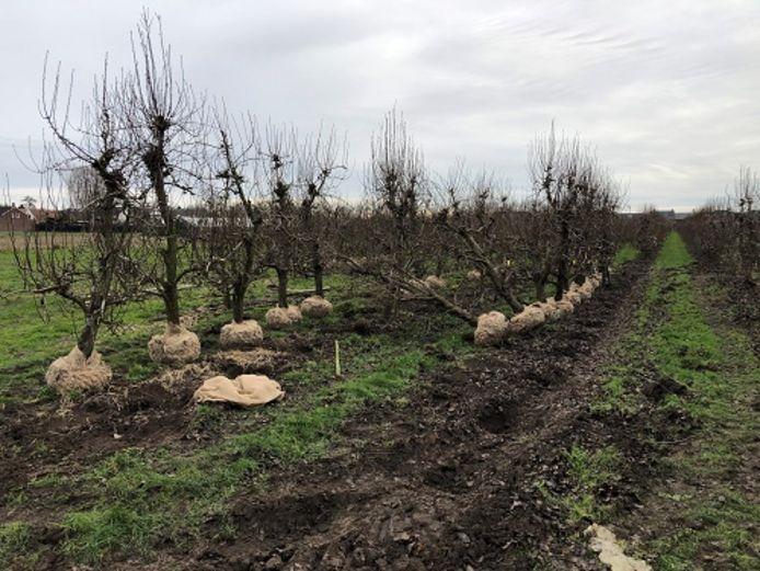 400 oude perenbomen zijn herplaatst.