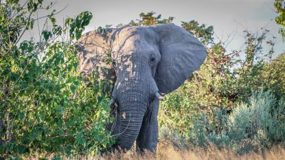 36 dode olifanten gevonden in Botswana, dieren mogelijk vergiftigd