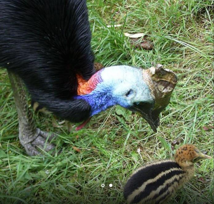 Het vorige helmkasuarismannetje met jong. In 2011 bracht hij vier jongen groot, een primeur in de dierentuinwereld