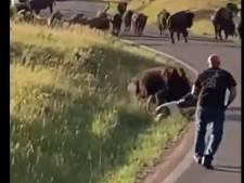 Attaquée violemment par un bison, elle perd son pantalon
