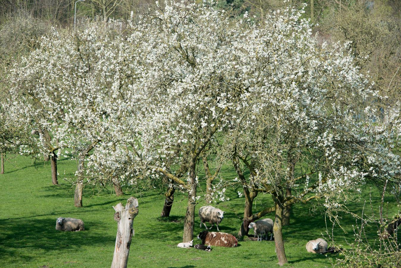 Hoogstamfruitbomen in Varik. Dit wordt mogelijk het decor voor een natuurlijke begraafplaats in Ophemert.