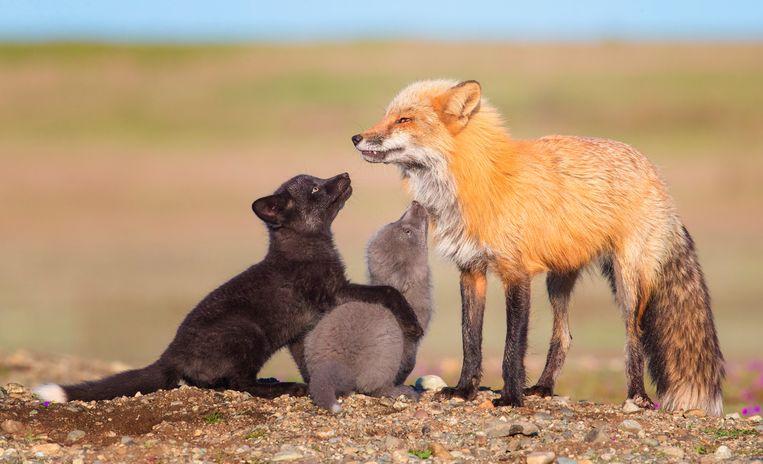 Een kleurrijke vossenfamillie in Washington State, Noord-Amerika.   Beeld Tin Man Lee