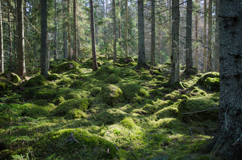 Bos in Zweden. Spirituele groei en tantra beoefening zouden hier het best tot zijn recht komen.  Beeld Colourbox