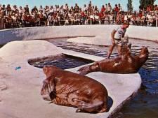 Eerste walrussentrainer van Dolfinarium Harderwijk: 'Ze horen niet in gevangenschap te leven'