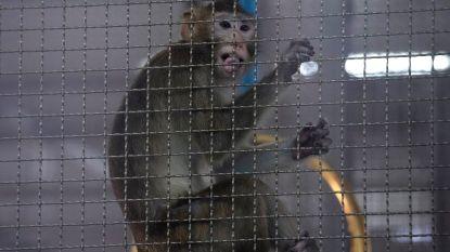 Thailand test coronavaccin op apen na succes bij muizen