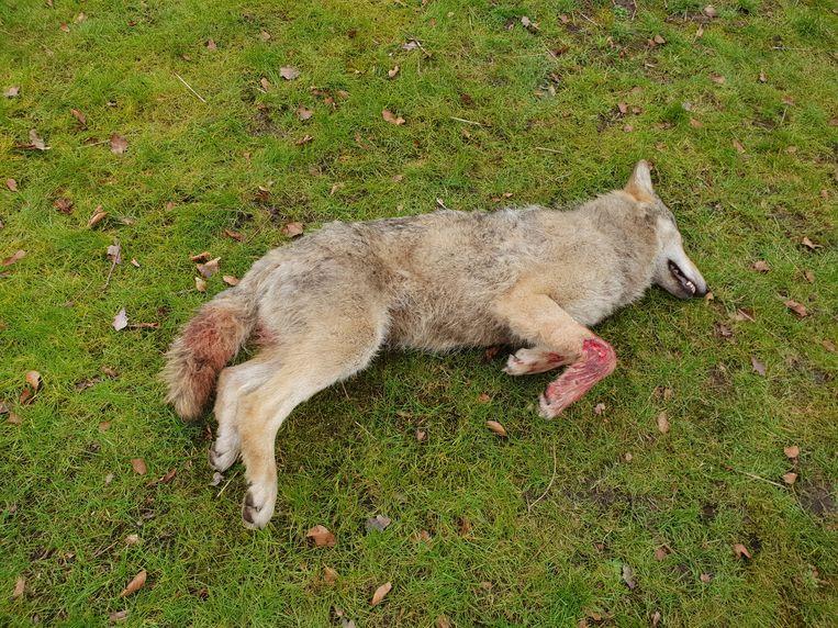 De doodgereden wolf.