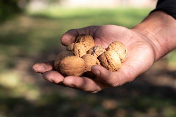Peter van 't Westeinde toont geraapte walnoten.