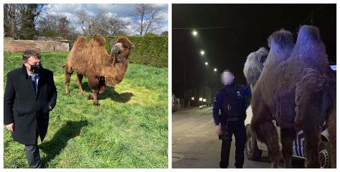 Doorniks burgemeester Paul-Olivier Delannois bracht deze middag een bezoek aan de weide waar de kamelen en de dromedaris nu grazen.