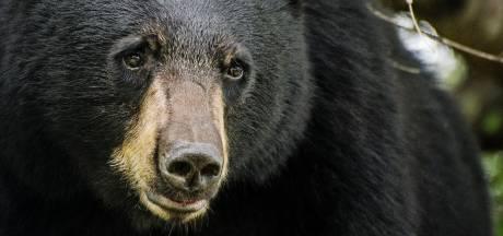 Un ours derrière une série d'effractions de voitures aux Etats-Unis