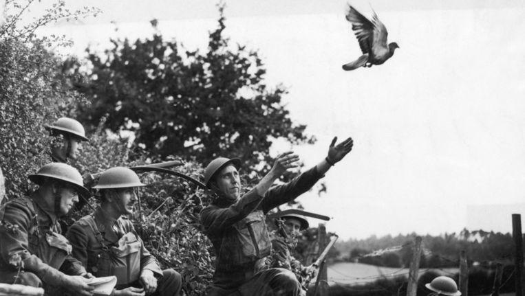 Het Britse leger stuurt een postduif op pad in WOII. Beeld Getty