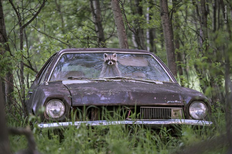 De schattigste. Een wasbeer heeft een veilig onderkomen gevonden in een sloopauto, op de achterbank spelen vijf jongen. Wildlife Photographer Of The Year
