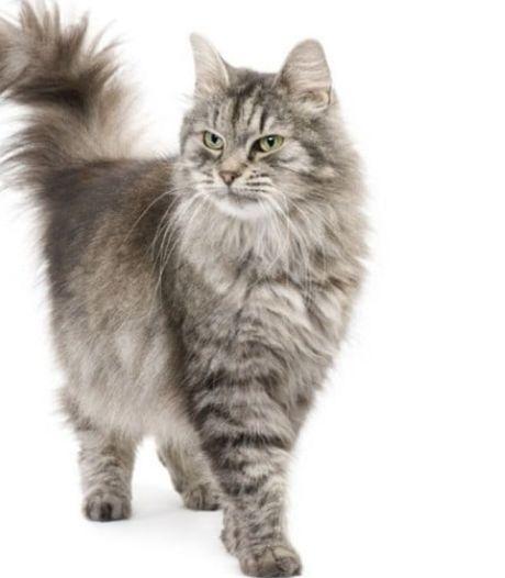 Agenten lossen catnapping op: verkoper van kostbare Siberische kater opgepakt