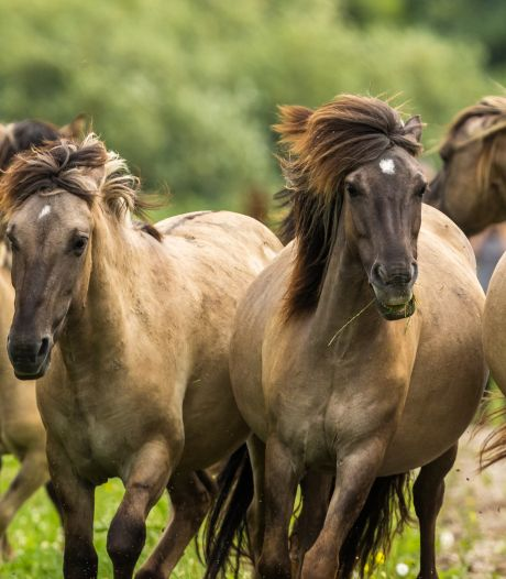 28 konikpaarden uit Oostvaardersplassen ontkomen aan slacht en draven nu in een ander land vrij rond