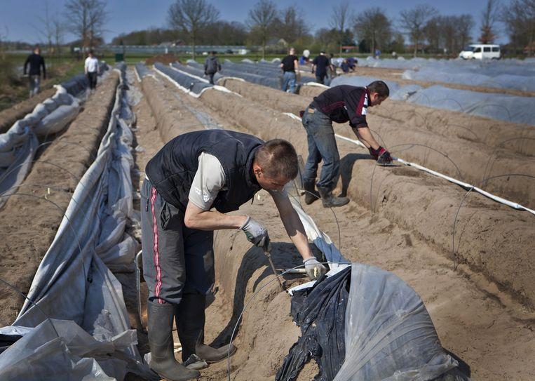 Polen en Letten aan het werk in de asperges in Limburg. Beeld ANP