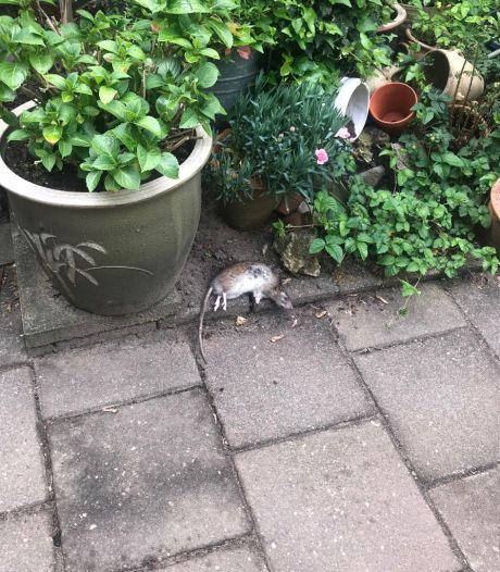 Frustraties in de wijk door trippelende plaaggeesten: 'Echt álles is aangevreten door ratten'