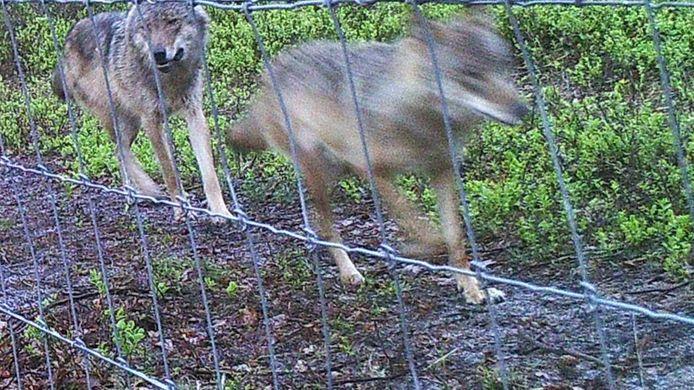 Twee wolven die eerder al met een camera werden vastgelegd op de Veluwe.