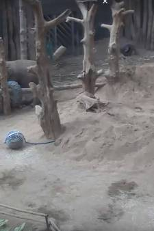 Drama in DierenPark Amersfoort: olifant Yunha overleden aan herpesinfectie