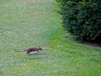 Lockdown doet ratten in Londen oprukken naar buitenwijken: vrees voor 'superratten' zoals in Parijs