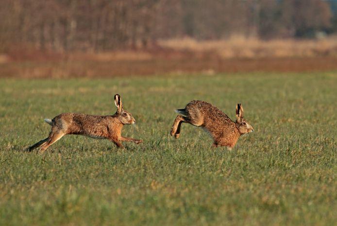 Twee hazen rennen achter elkaar aan in de ochtendzon.