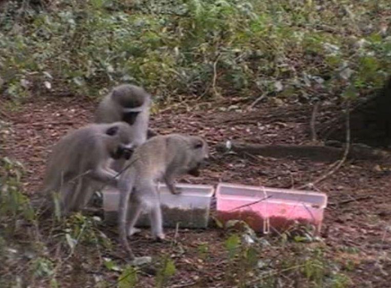 Meerkatten eten blauw maïs Beeld ERICA VAN DE WAAL