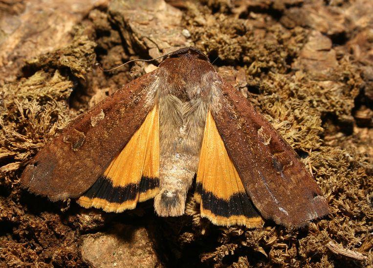 Huismoeder (nachtvlinder). Beeld Malene Thyssen