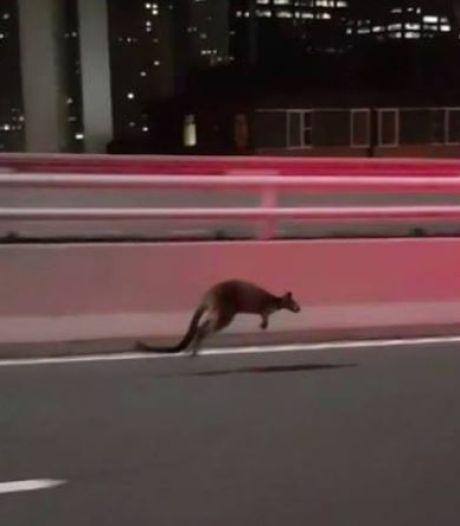 Ontsnapte wallaby gefilmd bij westelijke ringweg in Groningen