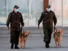 Des chiens dressés pour détecter les malades du Covid-19 au Chili