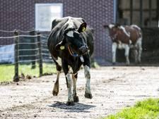 Koe ontsnapt aan omstanders tijdens evacuatie met brand in Haaksbergen
