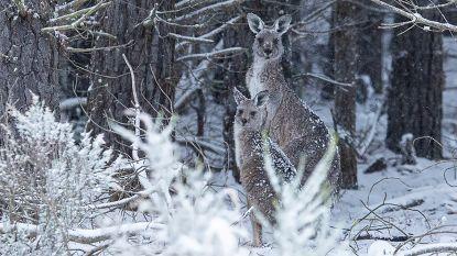 Australische kangoeroes verrast door sneeuwtapijt