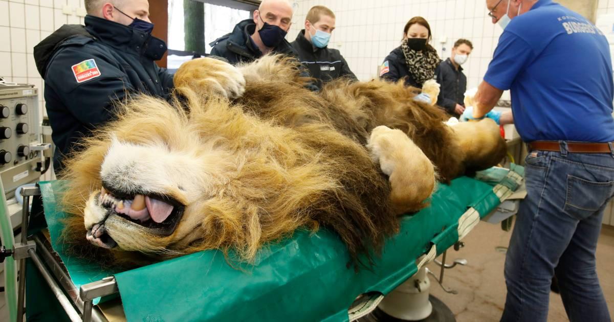 Leeuw Thor gaat onder het mes, zijn belangrijkste werk in Burgers' Zoo zit er op - De Gelderlander