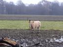 Een koe loopt bij de boerderij in Winterswijk in de wei, die meer lijkt op een modderpoel.