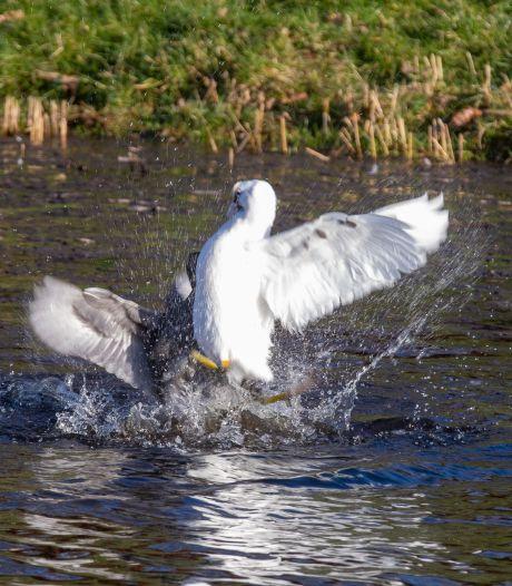 Is het een albino of zijn de veren erg snel vergrijsd? In Kampen duikt een spierwitte meerkoet op