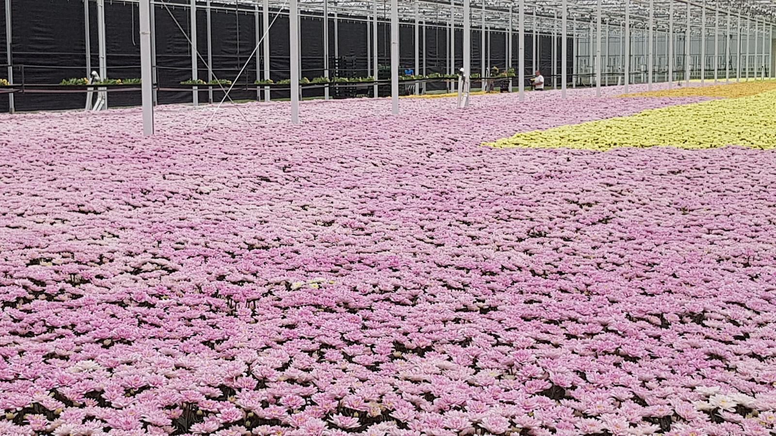 Foto ter illustratie. Bij een niet nader genoemde chrysanten- en fruitteler heeft de NVWA onder meer het verboden insecticide chloorpyrifos aangetroffen.