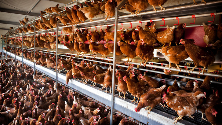Eiergate kostte 1,5 miljoen kippen de kop