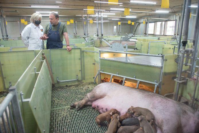 Filip Van Laere leidt minster Hilde Crevits rond in zijn varkenskwekerij Duroc d'Olives, waar de biggen vrij beloop hebben.