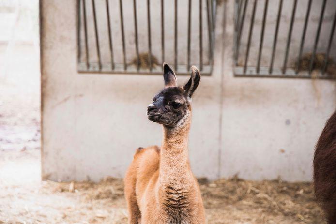 Er is een lama geboren in kunst- en dierenpark Labiomista.