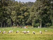 26 ooievaars in een weiland bij Agelo laten zien: het gaat goed met de soort ondanks slecht broedseizoen