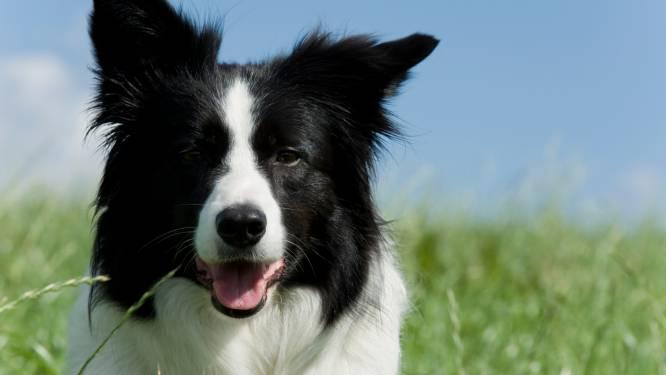 Baasjes opgelet: politie vermoedt dat honden steeds vaker worden gestolen voor de handel