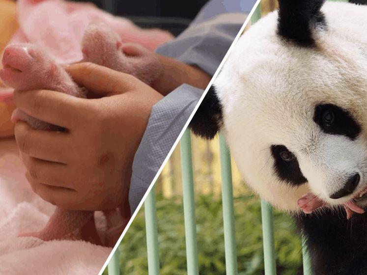 Unieke beelden: reuzenpanda Huan Huan bevalt van tweeling