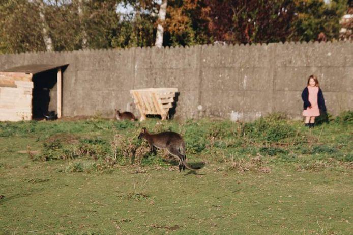 Sam, de wallaby van zorgboerderij 't Frambozenhof in Liedekerke, is al een week op de dool.
