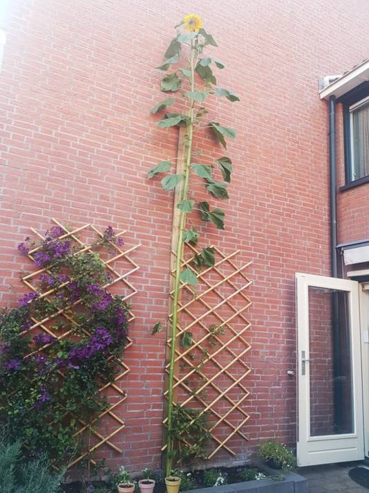 In onze achtertuin in Bodegraven staat deze zonnebloem van bijna 5 meter hoog.