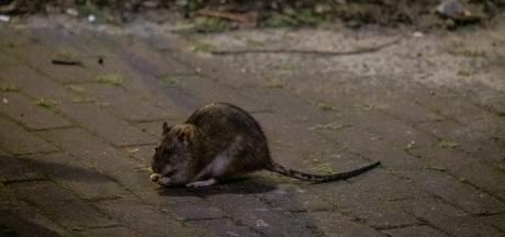Aanpak rattenprobleem wordt strijd van lange adem: 'Door verbod op gif kost dit meer tijd'