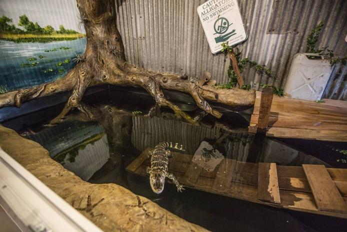 Alligator Happer in haar bassin in een Helmondse woonwijk. foto Ton van de Meulenhof