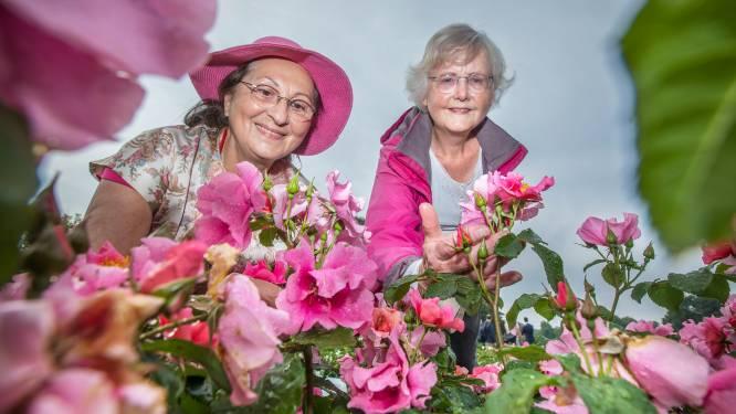 Bekende rozen in Westbroekpark staan er weer tiptop bij: 'Meer dan 300 soorten'