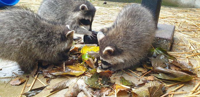 De drie wasberen, die per ongeluk met een oud-ijzerhandelaar mee kwamen gelift vanuit Duitsland, zijn nu ongeveer zes maanden oud en het gaat goed met ze.
