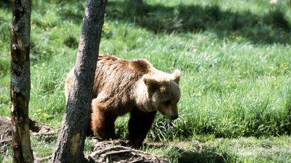 Spaanse veehouders protesteren tegen beren in Pyreneeën