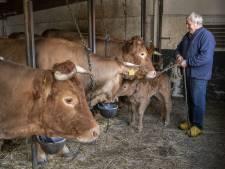 Bijna alle koeien van Leo uit Glane gered van de slachtbank