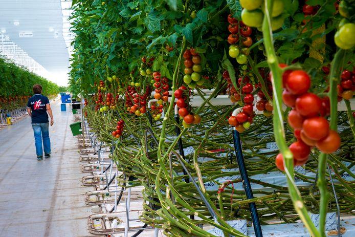 Tomaten in kassen in Sirjansland.