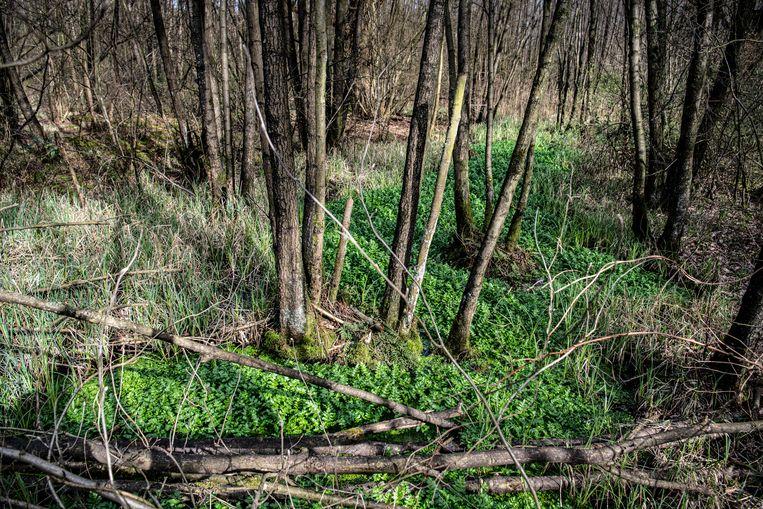 Er leven herten en zwijnen in het droge gedeelte van het bos. In de uiterwaarden leven bevers en otters. Beeld Koen Verheijden